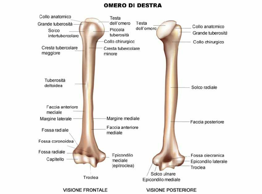 radiografia omero